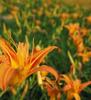 (高雄)夏日花季~金針花.高山杜鵑.阿勃勒