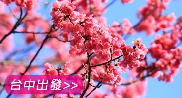 (圖)阿里山櫻花綻放粉紅包