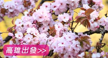 (圖)八仙賞櫻.谷關泡暖湯