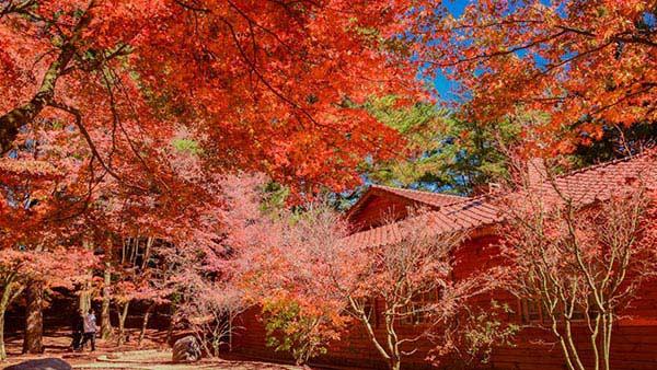 (圖)《福壽山》海拔兩千公尺紅葉再現 武陵梨山果園採蘋果